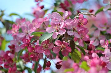 Sakura flowers against the blue sky.