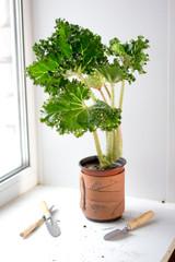 Begonia lettuce leaf