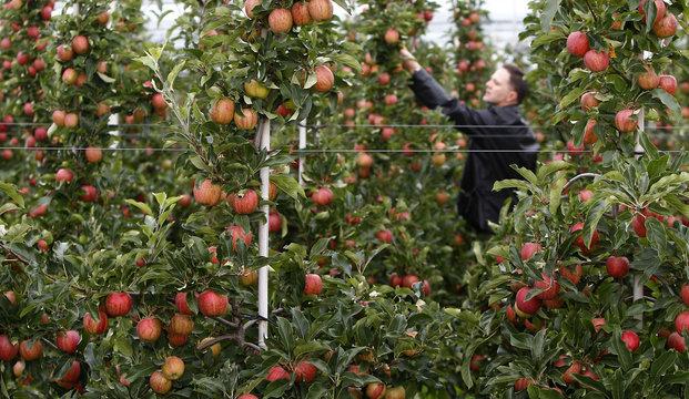 Farmer Hagen inspects his Gala apple trees ahead of harvest in two weeks in Kressbronn near Lindau at lake Bodensee