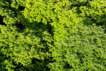 Beautiful patulous treetops with green leaves of chestnut trees seen from above, aerial view