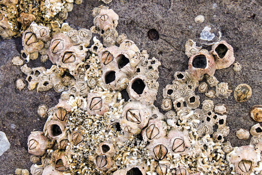 Barnacles and shells encrusted on the rocks by the sea