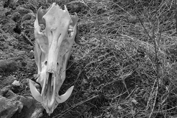 Skull of wild boar on dry grass background, front view, black and white photo