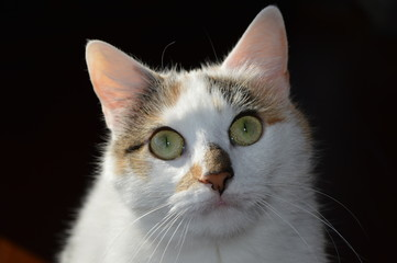 Headshot of Rare White Calico Kitten on Black Background