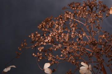 Winter still life dry hydrangea close-up