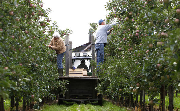 Farmers inspect apple trees ahead of the harvest in two weeks time in Kressbronn near Lindau at lake Bodensee