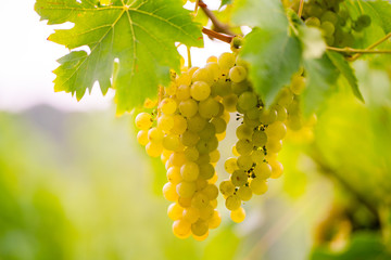 süße saftig reife Weintrauben im Herbst