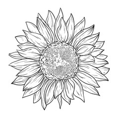 Sunflower in lines. Line art style. Isolated on white background. Coloring book.