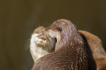 Affectionate otters. Wild animals bonding. Animal love and affection.