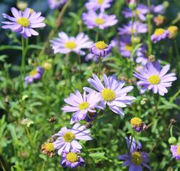 Light Purple Daisy