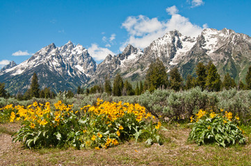 Snow capped Rocky Mountains in Grand Teton National Park Wyoming, with yellow flowers in foreground