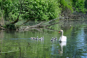 Schwanenfamilie in einem kleinen See