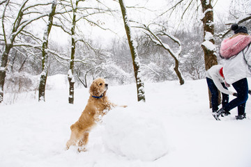 Cocker spaniel watching couple making snowman