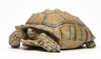 Sulcata tortoise on white background 2
