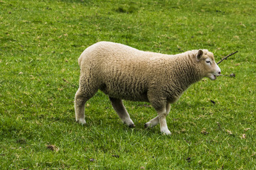 Cute, sheep, farm, animal, grass, wool, agriculture, field, farming, green, white, nature, livestock, mammal, animals