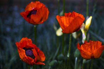 Red poppy closeup