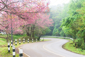 The road with cherry blossom tree in winter season, chiangmai, Thailand