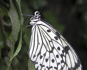 Black and White Butterfly on Leaf