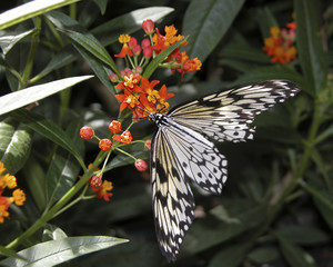 Black and White Butterfly on Yellow and Orange Flower
