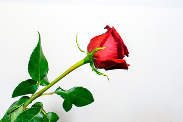 A long stem red rose with leaves