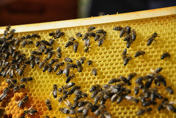 Queen bee surrounded by her workers. Close up of wooden frame with honeycomb and bees.