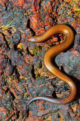 Lined Supple Skink, Lygosoma lineata, Satara, Maharashtra