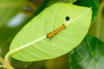 The yellow caterpillar on a leaf on a nature background.