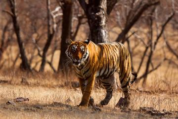 Tiger- Arrowhead, Panthera tigris, Ranthambhore Tiger Reserve, Rajasthan