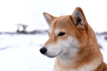 柴犬・背景雪