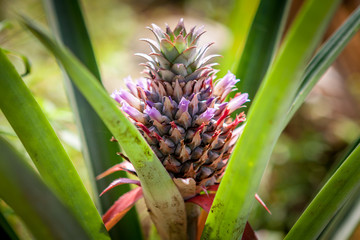 Red Pineapple tropical fruit growing in a nature. Pineapples plantation and farm.