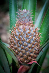 Pineapple tropical fruit growing in a nature. Pineapples plantation and farm.