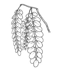 robinia pseudoacacia leafs and flowers hand draw illustration