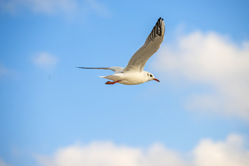 black headed gull flying deep over the Baltic sea