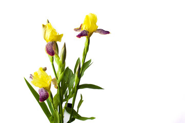 Yellow iris flowers on white textile background