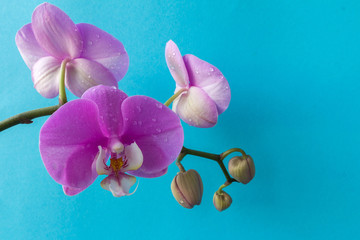 Phalaenopsis orchid flower on a branch with unbroken buds close-up with copy space on a blue background, concept of spring and holiday