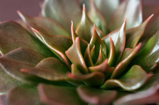 Closeup of succulent flower