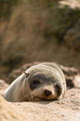 A baby seal in New Zealand
