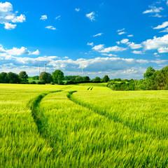 Fototapete - Landschaft im Frühling, Feld mit Gerste, blauer  Himmel, frisches Grün