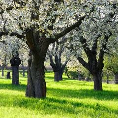 Fototapete - Streuobstwiese im Frühjahr, Blühende alte Kirschbäume