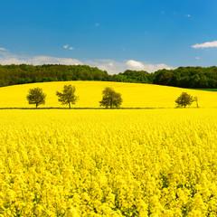 Fototapete - Kulturlandschaft im Frühling, blühendes Rapsfeld unter blauem Himmel