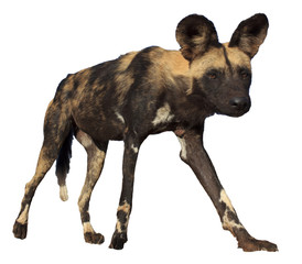 African Wild Dog (Painted Wolf) isolated on white background
