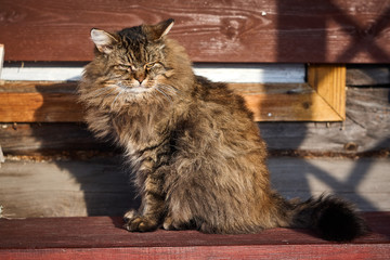 Angry siberian cat on bench in sunshine
