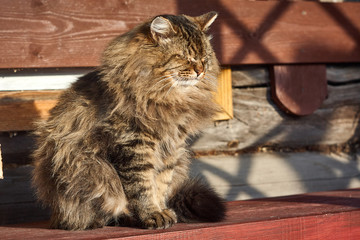 siberian cat with closed eyes on bench