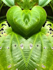 Leaf heart shaped, Leaf design, Valentine' s day