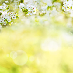 Spring background with cherry blossoms