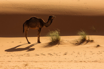 Camel in a full day in Sahara desert of Morocco