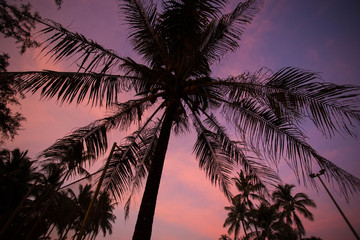 Coconut tree silhouette on the purple sunset background.