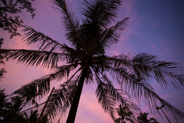 Tropical palm tree on the pink sunset background.