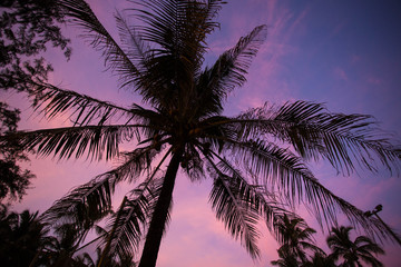 Palm tree on the purple sunset background.