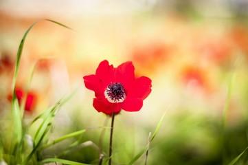 Red anemones in blossom flower isolated in the Negev desert, Israel. Flowering Negev desert stock image.