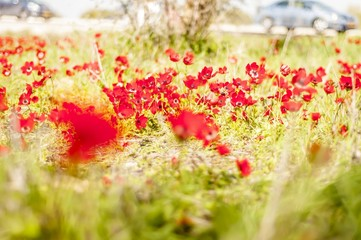 Red anemone flowers in the Negev desert, Israel. People come from far away to see the flowering Negev. Blurred background.